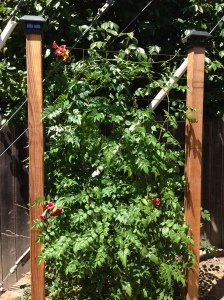 privacy screen with trumpet vine