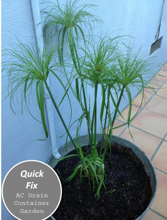 AC drain container garden papyrus