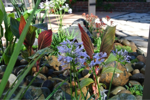 cannas-kangaroo-paw-agapanthus-lilly-of-the-nile-bi-color-iris-peacock-flower.jpg