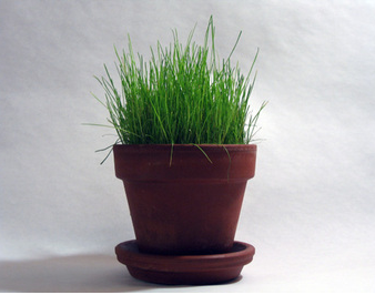 grass grown in a pot